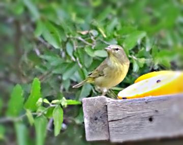 yellowbreasted