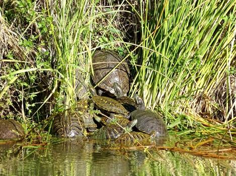 turtlepileup