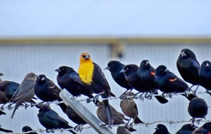 Yelllow-headed blackbird