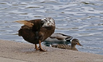 spotted neck duck
