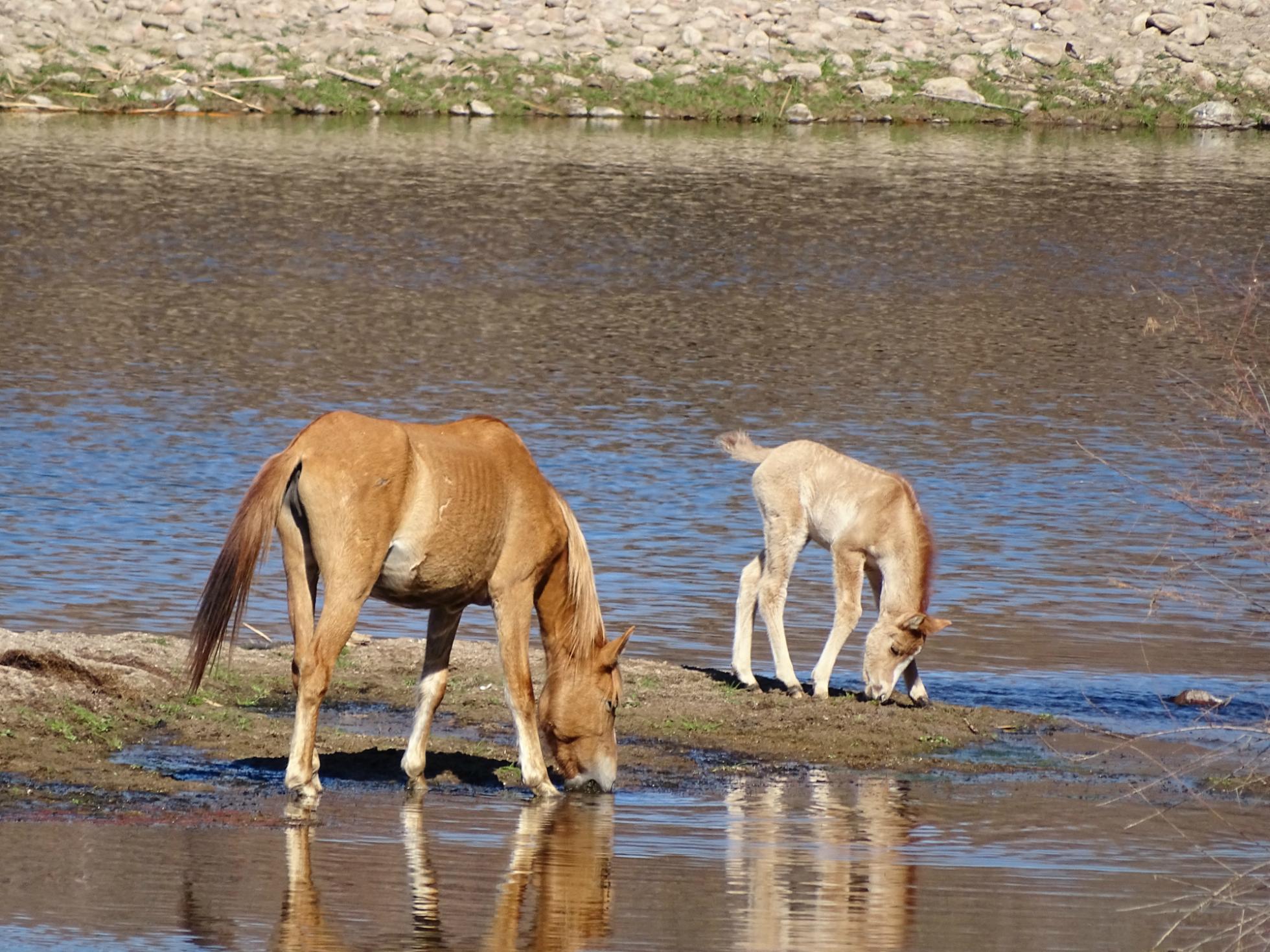 sweethorses