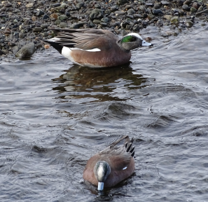 AmericanWidgeon