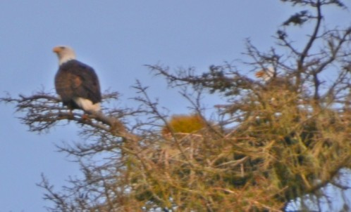 Eagle&mate.jpg