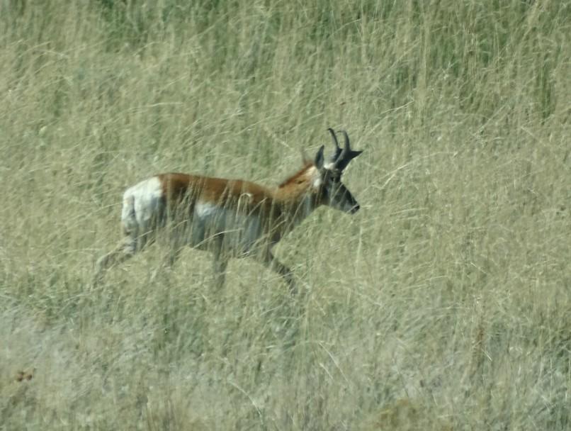 phantelope.jpg