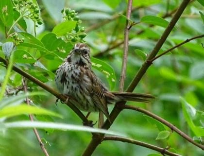 babysparrow