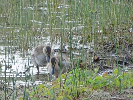duckinreeds