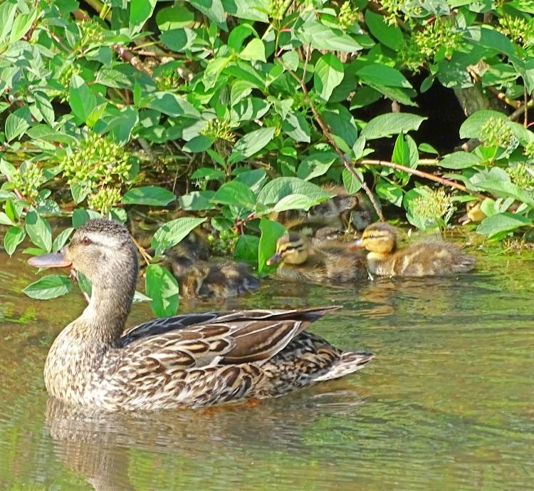 ducklings in bush