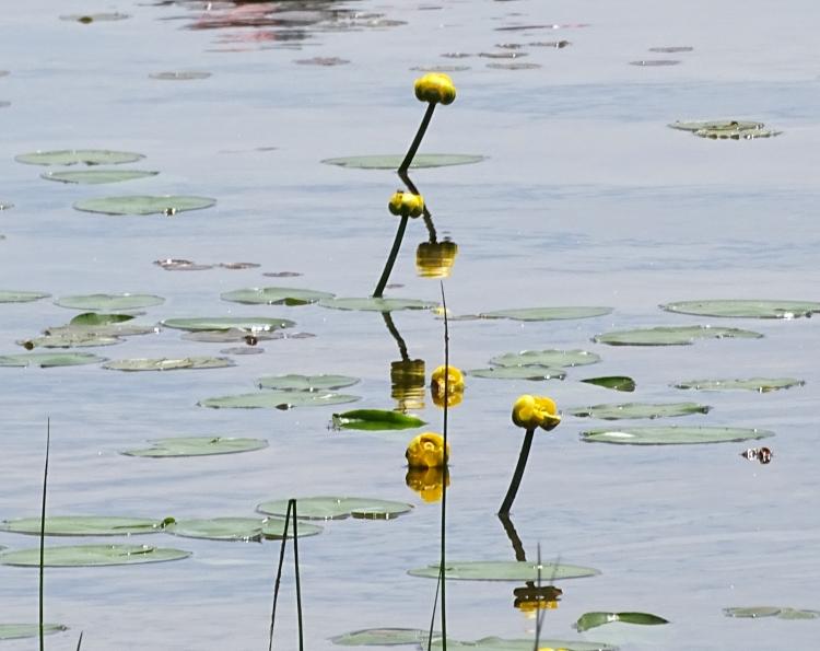 Lilypadflowers