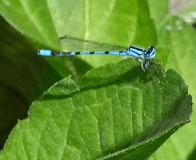 palebluedragonfly