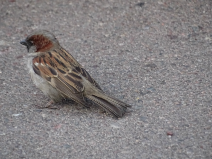 sparrowmarkings