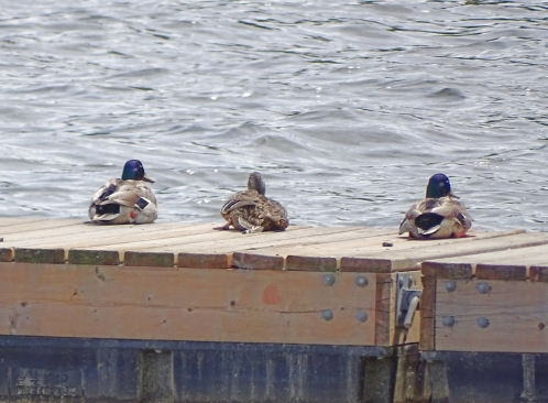 sunbathingducks