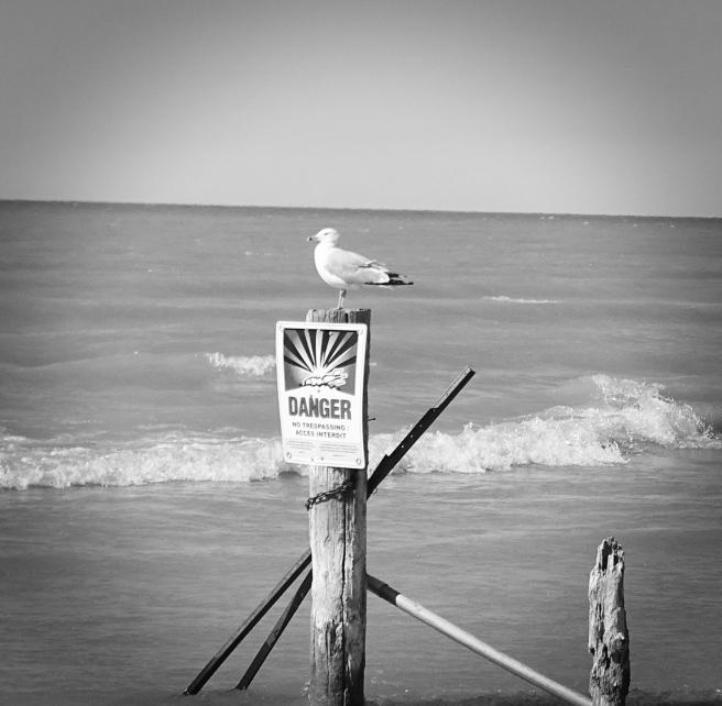 Danger gull bw