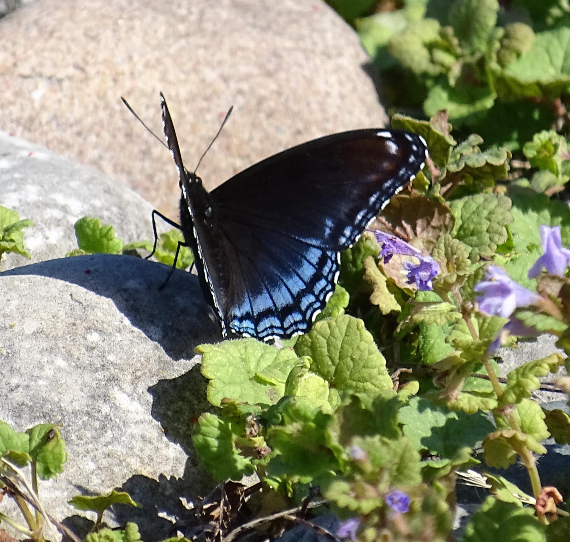 bluewings