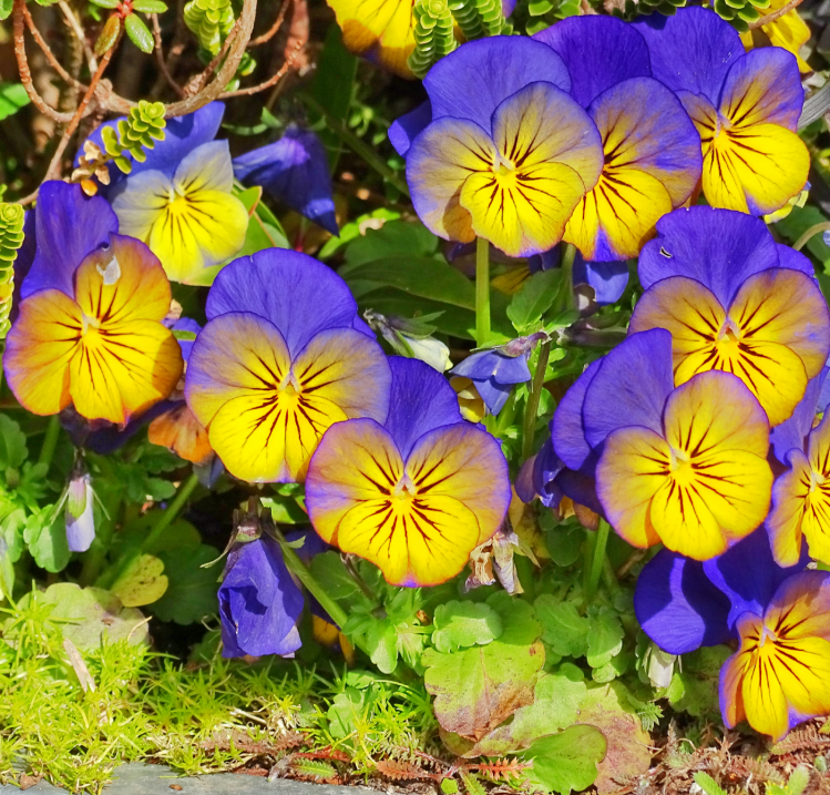 purpleyellowpansy