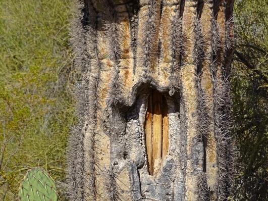 Saguaroguts