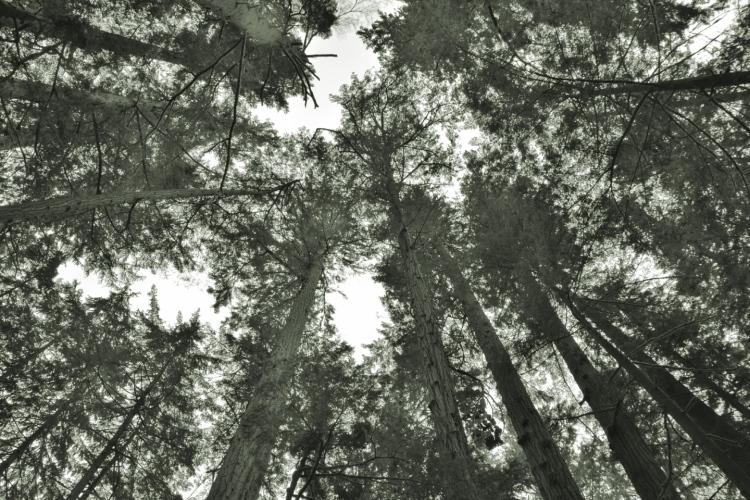circleoftrees bw