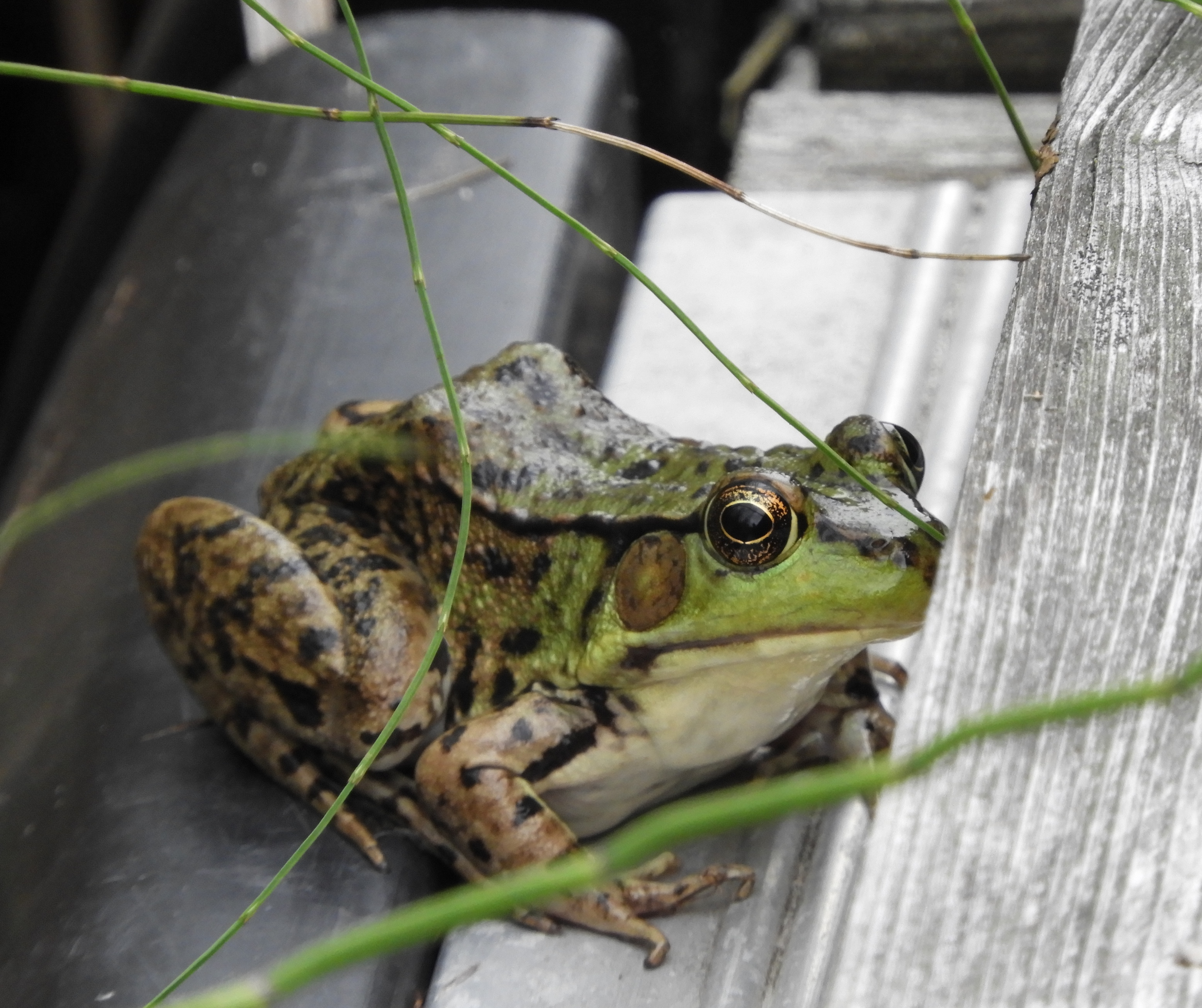 frog closeup