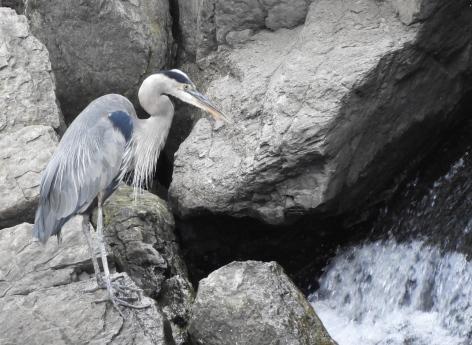 hunched heron