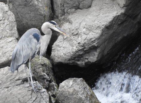 hunched heron