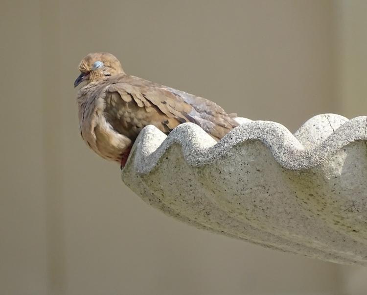 snoozing dove